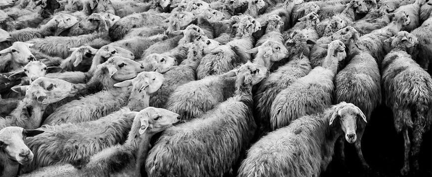 Wolle, ungefärbt. © CC-Lizenz