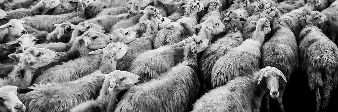 16-10-25-sheep-1148999_1280-pixabay_startseite