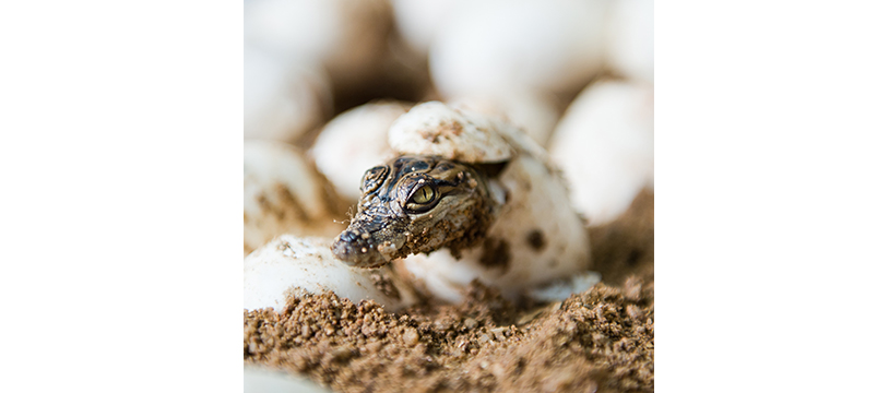 Little baby crocodiles © xy - Fotolia.com
